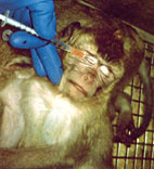 Mono torturado