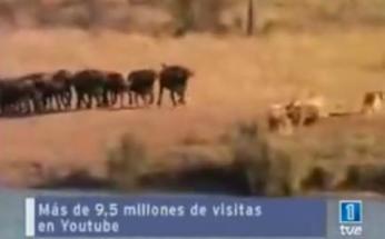 HONDURAS CUAL MANADA DE BUFALOS