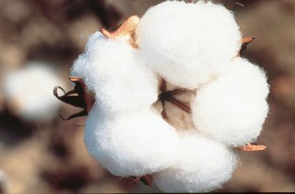 cottonpicmonsanto