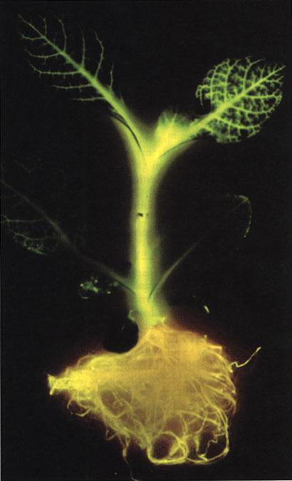 plantas-transgenicas