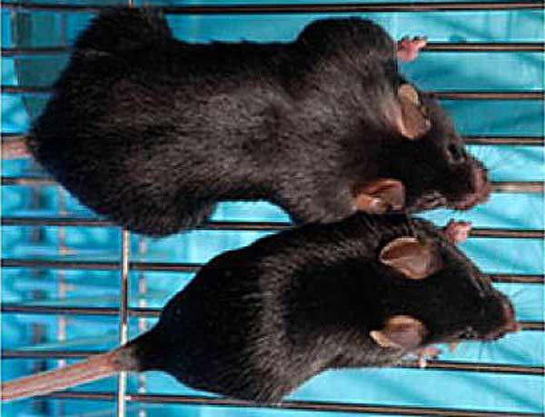 ratones-alimentacion-omg