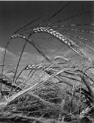 trigo-transgenico