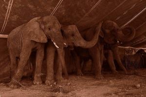 elefantes-encadenados