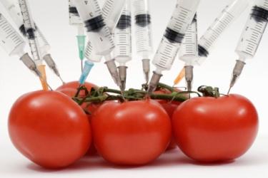 tomates transgenicos