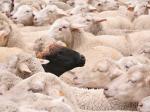 miguel rix ovejas negras