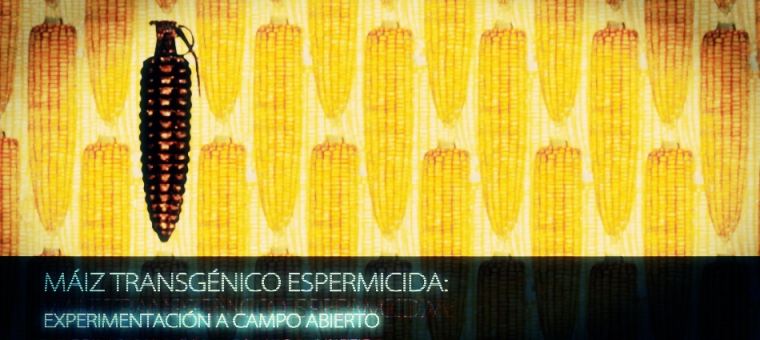 https://elproyectomatriz.files.wordpress.com/2011/05/maiz-transgc3a9nico-espermicida-experimentacic3b3n-a-campo-abierto_00000.jpg?w=760&h=340
